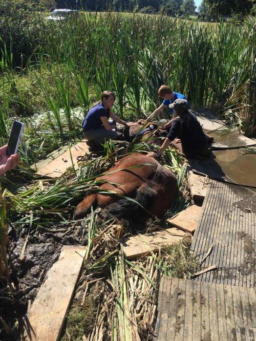 Tim penyelamat berusaha menarik kuda dari kubangan lumpur. Semakin kuda bergerak,semakin dalam dia terjebak dalam lumpur.  Akhirnya tim penyelamat berhasil menarik kuda dari dalam lumpur dengan menggunakan rantai dan selempang.