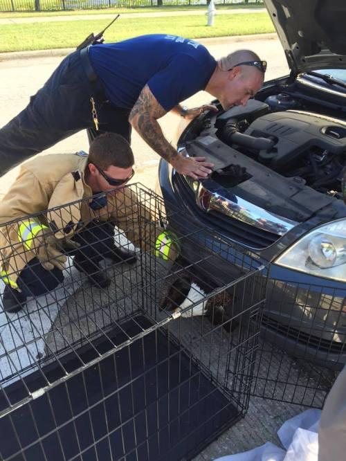Dengan hati-hati petugas satwa liar mengeluarkan elang botak yang bersembunyi dalam bemper mobil.