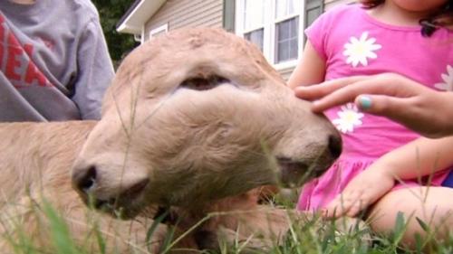 Sapi dengan dua wajah lahir di peternakan Kentucky pertanian
