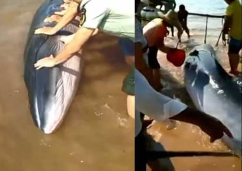 Puluhan warga bersatu di sebuah desa Cina untuk menyelamatkan ikan paus yang menjadi terdampar ketika terdampar di sebuah ...