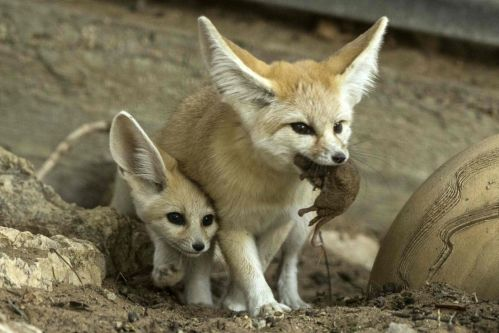 A seven-week old fennec fox (Vulpes zerda) and his mother with a mouse in her mouth at the Ramat Gan Safari zoo, on November 6, 2016. Jack Guez / AFP ...