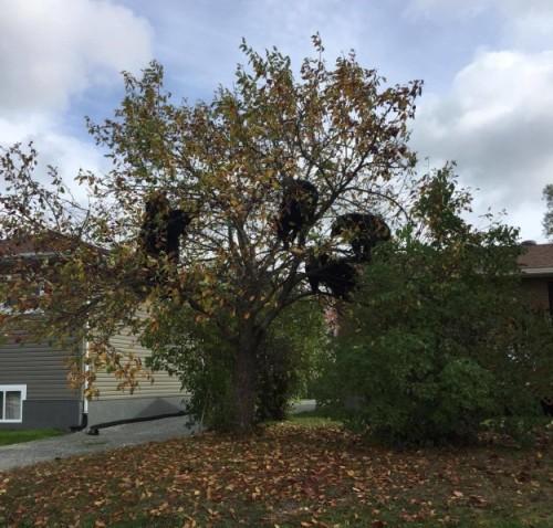 Sebuah keluarga beruang hitam berhenti di halaman rumah Megan di Kanada. Induk beruang dan ketiga anaknya lalu naik ke pohon apel. Mereka makan buah apel sebagai camilan buah segar di atas dahan. Ibu dan tiga anak beruang lalu pergi setelah menyelesaikan makan mereka. Screen capture / Megan Megan / YouTube.