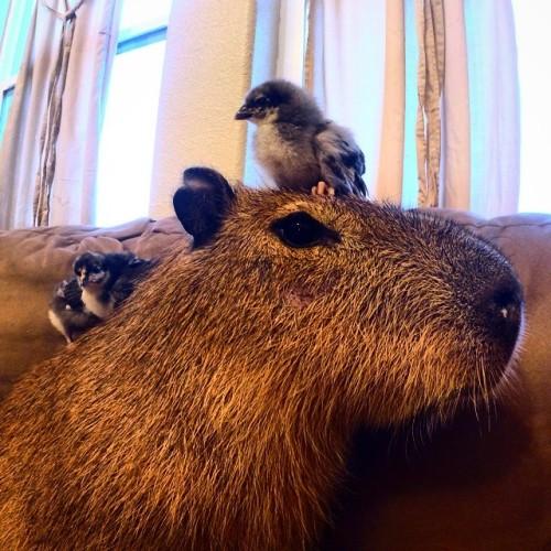 Bahkan di lain waktu, anak-anak ayam nongkrong di kepala capybara Joe-Joe sambil mematukkan paruhnya ke kepala Joe.