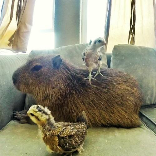 Saat capybara berpindah ke sofa, anak-anak ayam pun mengikutinya sambil menginjak punggung Joe-Joe.