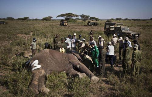 Gajah dibius lebih dulu agar tidak mengamuk, saat petugas pegiat konservasi Taman Nasional Amboseli, Kenya