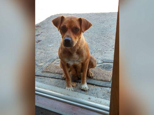 Induk anjing liar duduk termenung di depan pintu karavan.