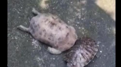Dalam rekaman yang diambil di Jining, Provinsi Shandong, Cina, itu menunjukkan dua kura-kura besar dan kecil berdiri berdekatan. Namun yang mengejutkan, kura-kura besar kemudian menyeruduk si kecil berulang kali menggunakan kepalanya.