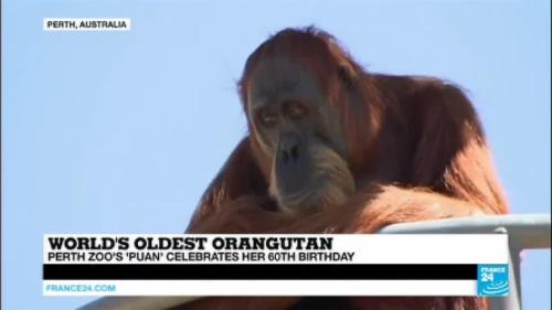 Australia: Perth kebun binatang Puan, tertua Orangutan di dunia, merayakan ulang tahunnya ke-60!