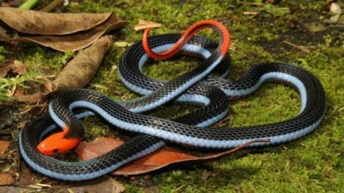 Satu dari ular langka yang mematikan di Asia Selatan ini ternyata dapat menyebabkan mangsanya kejang. Namun demikian, menurut sebuah penelitian, bisa dari ular tersebut dapat dikembangkan menjadi obat penghilang rasa sakit. Obat tersebut dapat membantu mengelola rasa sakit tanpa efek samping,