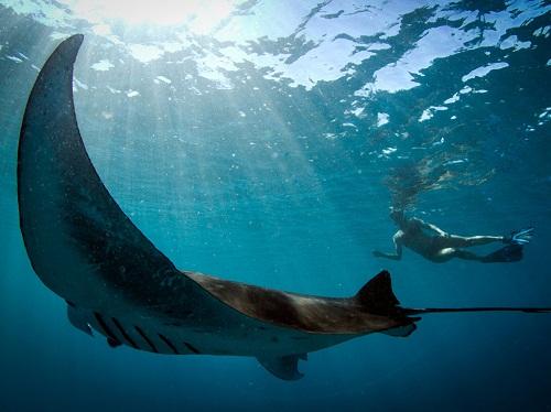 Ikan pari berusaha mendekati penyelam di air jernih pantai Kiama, Australia.