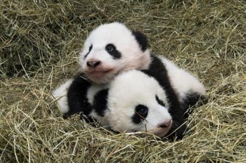 panda raksasa anaknya kembar Fu Feng dan Fu Ban terlihat di kebun binatang Schoenbrunn di Wina.