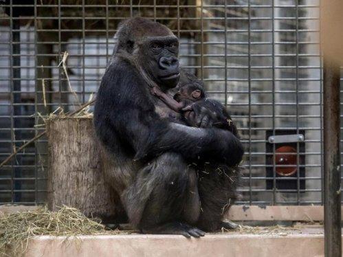 Gorila Changa Maidi memeluk buah hatinya, yang baru saja dilahirkan.