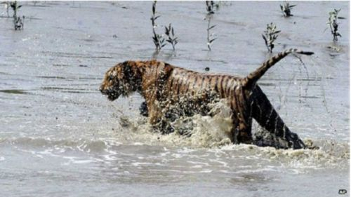 Harima batal menyerang turis yang sedang naik gajah besar, akhirnya diusir petugas taman safaril, berlari masuk  hutan lewat rawa\rawa/