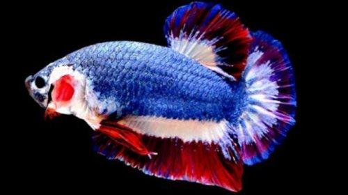Ikan unik ini menjadi perbincangan heboh di dunia maya, setelah pemiliknya Kachen Worachai mengunggah foto di grup lelang di Facebook. Seekor ikan cupang dengan warna mirip bendera kebangsaan Thailand, laku terjual seharga 1.530 dollar AS atau kira-kira Rp 20 juta, dalam sebuah lelang online.