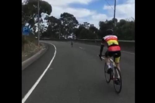 Kangoro berlari kencang di depang tim balap sepeda yang sedang berlatih di