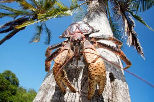 Kepiting kenari (Birgus latro) atau kepiting kelapa merupakan kepiting langka yang dilindungi. Foto : mirror.co.uk