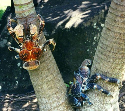 Kepiting kelapa (Birgus latro) yang makin langka karena perburuan. Foto : wikimedia