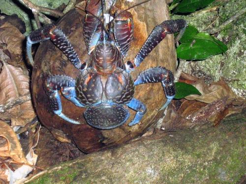 Kepiting kelapa (Birgus latro) dengan makanan utama kelapa. Orang Inggris menyebutnya robber crab karena menganggap kepiting itu mencuri kelapa untuk makanannya. Foto : wikimedia