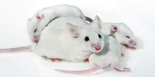seorang peneliti Bioengineer dari Amerika Serikat menggunakan bantuan penciuman tikus untuk mendeteksi peledak. Agar sang tikus dapat membantu manusia dalam pendeteksian bahan peledak maka peneliti yang bernama Charlotte D'Hulst ini merekayasa genetika hewan tersebut. Dengan merekayasa genetika tikus itu, maka hewan laboratorium itu akhirnya memiliki kemampuan penciuman 500 kali lebih baik dibanding tikus normal. Dengan penciuman yang lebih baik tersebut, sang tikus diharapkan dapat mendeteksi letak peledak yang tertanam.
