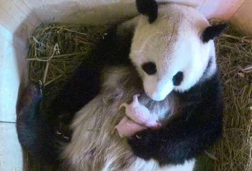 Dalam foto yang dirilis oleh kebun binatang Tiergarten Schonbrunn, panda Yang Yang memegang baru lahir