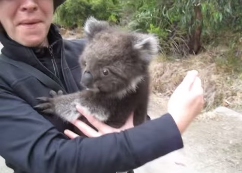 Bayi koala lalu melompat ke dada pejalan kaki.