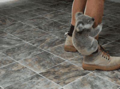 Bayi koala mulai memanjat kaki pejalan kaki.