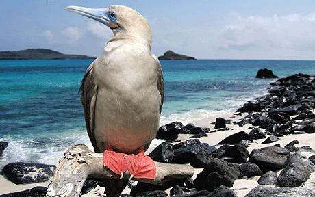 Norman, burung booby kaki merah di habitat aslinya, pantai selatan Inggris.