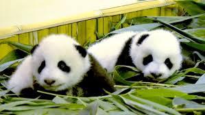 kembar panda dua-bulan-tua di Guangzhou Chimelong Safari Park di Guangzhou, Cina. Gambar: AFP