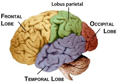 Otak terdiri dari tiga bagian utama: otak depan, otak tengah, dan otak. Otak depan terdiri dari otak, thalamus, dan hypothalamus (bagian dari sistem limbik). Otak tengah terdiri dari tectum dan tegmentum. Otak belakang terbuat dari cerebellum, pons dan medula. Seringkali otak tengah, pons, dan medula disebut bersama-sama sebagai batang otak.