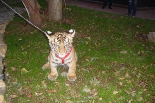 Pihak berwenang di Meksiko menyita harimau cub Bengal dari seorang pria yang ditemukan akan menjaga hewan di rumahnya dengan anak-anak-Nya. Foto milik PROFEPA.