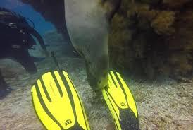 Singa laut mencium sepatu katak milik penyelam.