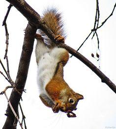 Setelah cokelat didapat, tupai meloncat ke dahan pohon di belakang toko, menikmati cokelat gratis curiannya.