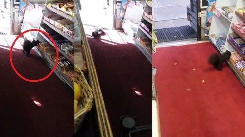 Pemilik Toko Ini Minta Bantuan Karena Puluhan Coklatnya Dicuri Oleh Makhluk Lucu Ini