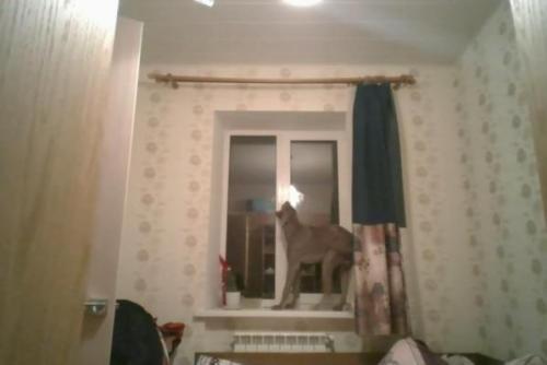 Seekor anjing pintar membuka jendela di rumah pemiliknya. Screenshot: JukinMedia.