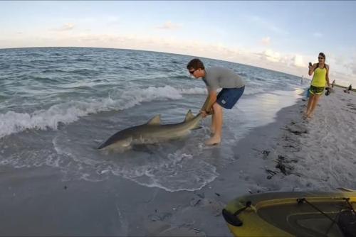 Watch: Kayaker tangkapan dan rilis lemon hiu off Florida pantai - UPI.com