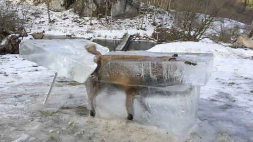 Seorang pemburu yang menemukan fox mati terbungkus es di Jerman telah menempatkan itu di acara di depan hotel keluarganya. Franz STEHLE mengatakan kepada kantor berita Deutsche Presse-Agentur bahwa ia menemukan blok yang berisi hewan saat keluar di sebelah sungai Danube di barat daya negara itu pada 2 Januari.