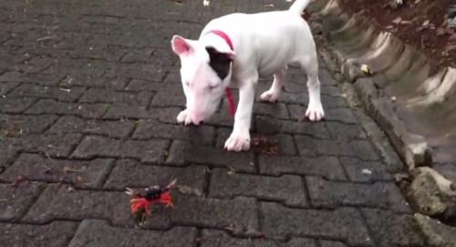 Kepiting merah siap menjepit kaki Jerry, jenis anjing Bull Terrier saat keduanya bertemu di jalan kompleks perumahan Bagaces, Kosta Rica.