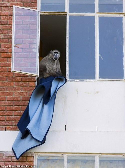 Karena tak bisa masuk dapur apartemen, monyet yang kelaparan menyelinap lewat jendela apartemen sebelahnya.
