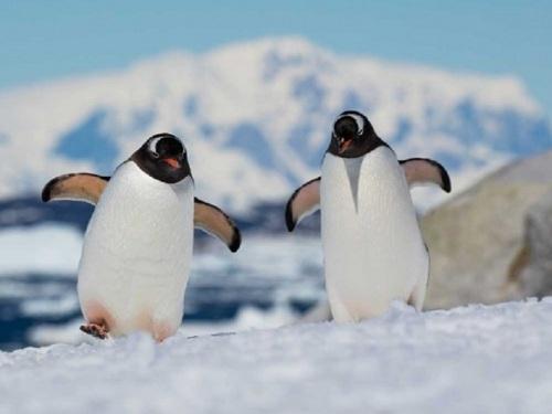 """Hewan yang menggemaskan ini memang punya cara berjalan yang lucu. Tetapi sebuah alasan ilmiah mengatakan, cara berjalan penguin dapat menghindari mereka dari kecelakaan kecil. Perkumpulan ortopedi dan trauma di Jerman, meminta masyarakat untuk meniru cara berjalan penguin. """"Teknik berjalan penguin merupakan metode sederhana untuk berjalan di permukaan yang bekum"""" ujar ahli bedah, Reinhard Hoffmann. Langkah-langkah kecil penguin dengan gerakan menyeret secara bergantian mampu menjaga keseimbangan mereka saat berjalan di atas es."""
