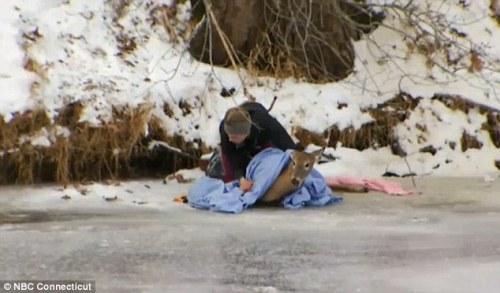 Setelah kaki belakang rusa bisa digerakkan, regu penolong lalu menyelimuti tubuh rusa dengan selimut.